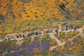 """Surrounded by the wildflower super bloom, large crowds hike amid the poppies while taking in the rare scenery of the Lake Elsinore Poppy Fields in Walker Canyon after the city closed the area in Lake Elsinore, Calif., on March 18, 2019. Calling the stampede a """"poppy nightmare,"""" Lake Elsinore officials announced they had shut access to the popular poppy fields in Walker Canyon, where crowds had descended in recent weeks to see the super bloom of wildflowers. """"The situation has escalated beyond [our] available resources,"""" Lake Elsinore said on its City Hall Facebook page. """"No additional shuttles or visitors will be allowed into Walker Canyon. This weekend has been unbearable [for] Lake Elsinore."""" The area was reopened Monday. (Allen J. Schaben/Los Angeles Times/TNS)"""