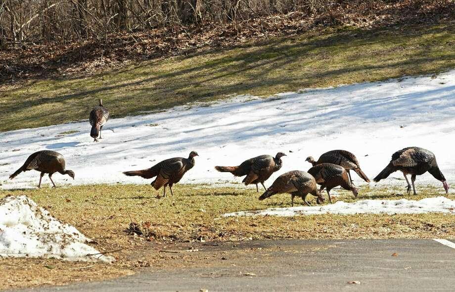 A flock of turkeys graze of grass as the winter's snow melts on Wednesday, March 20, 2019 in Colonie, N.Y. (Lori Van Buren/Times Union) Photo: Lori Van Buren, Albany Times Union