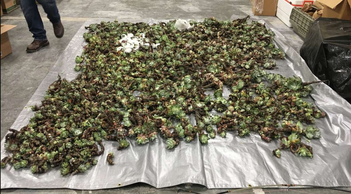 Authorities are on the lookout for poachers along the California coast, who are stealing Dudleya farinosa and selling it abroad -- sometimes by the thousands.