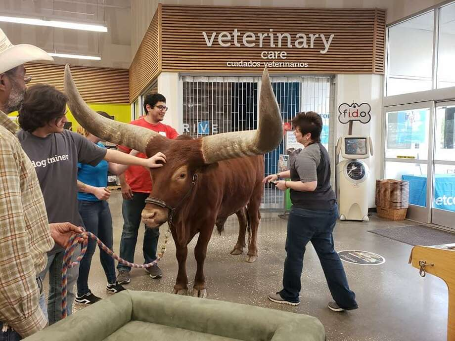 Vincent and Shelly Browning took their 14-year-old African Watusi named Oliver to the Atascocita Petco for the first time on March 17, 2019. Photo: Courtesy: Shelly Browning