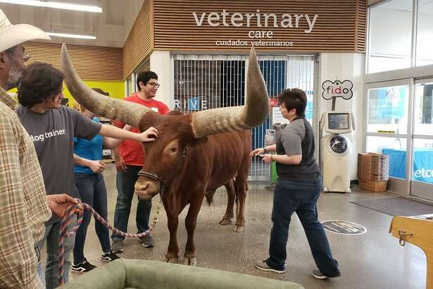 Vincent and Shelly Browning took their 14-year-old African Watusi named Oliver to the Atascocita Petco for the first time on March 17, 2019.