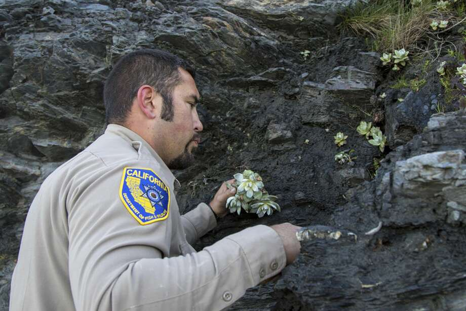 In this April 17, 2018 photo provided by the California Department of Fish and Wildlife, wildlife officer Will Castillo replants a Dudleya in Humboldt County, Calif. Photo: Travis VanZant/AP