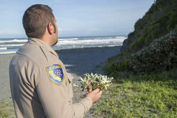 In this April 17, 2018 photo provided by the California Department of Fish and Wildlife, wildlife officer Will Castillo holds a Dudleya before replanting it in Humboldt County, Calif.