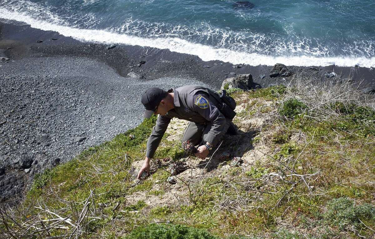 In this March 2018 photo provided by the California Department of Fish and Wildlife, wildlife officer Pat Freeling replants a Dudleya in Mendocino County, Calif.