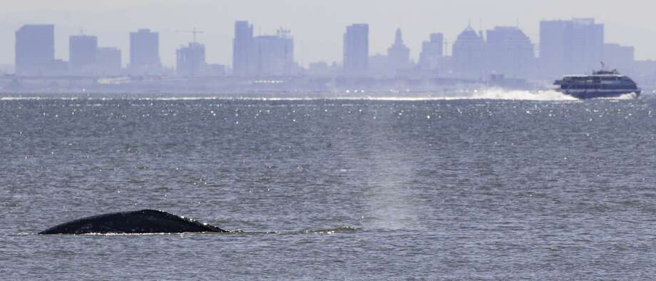 Gray whales spotted off Tiburon in the San Francisco Bay in March 2019. Photo: Bill Keener / Golden Gate Cetacean Research