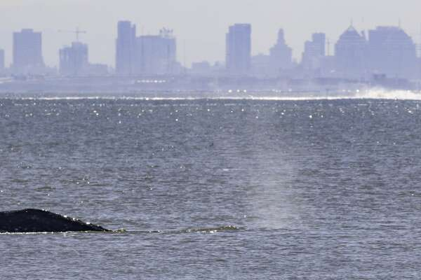 Gray whales spotted off Tiburon in the San Francisco Bay in March 2019.