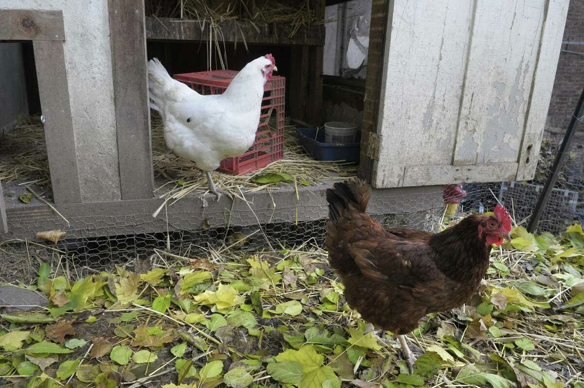 The Albany Common Council passed an ordinance on Monday, July 1, 2019, that will allow residents to keep chickens in their backyard. (Paul Buckowski / Times Union)