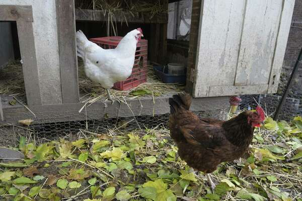Backyard chickens are illegal in Albany. (Paul Buckowski / Times Union) ORG XMIT: MER2014051918300568