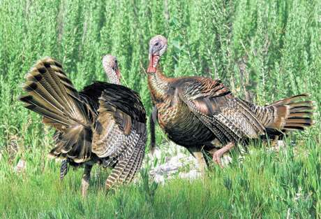 Poor or modestly successful hatches the past two years after a great hatch in 2016 mean hunters afield this Texas spring turkey season are likely to encounter more wary, long-bearded three-year-old gobblers than easier-to-tempt younger toms.