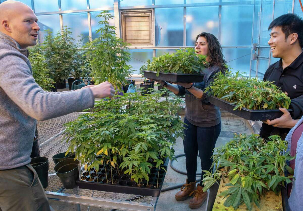 Photo by Mara Lavitt March 6, 2019 Agricultural Biotechnology Laboratory, University of Connecticut, Storrs UConn plant science: from left: graduate student Peter Apicella of Storrs, juniors Jessica DiMatteo of Bethany, and Sheng-Kai Lin of Taiwan in the greenhouse with hemp plants.