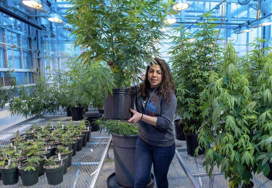 Photo by Mara Lavitt March 6, 2019 Agricultural Biotechnology Laboratory, University of Connecticut, Storrs UConn plant science: junior Jessica DiMatteo of Bethany moves hemp plants in the greenhouse to make room for more seedlings. Photo: Mara Lavitt / Mara Lavitt