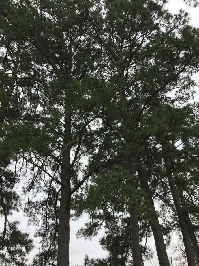 A majestic tree is the loblolly or oldfield pine (Pinus taeda). It is considered the most commercially valuable of all southern pines.