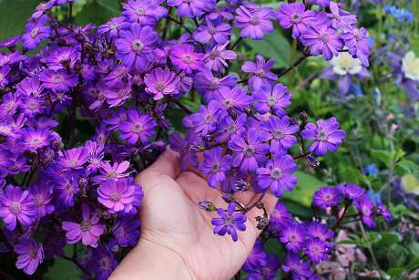Senecio stellata 'Giovanna's Select,' better known as tall cineraria, is a  wonderful way to add purple or burgundy flowers to a part-shade bed.
