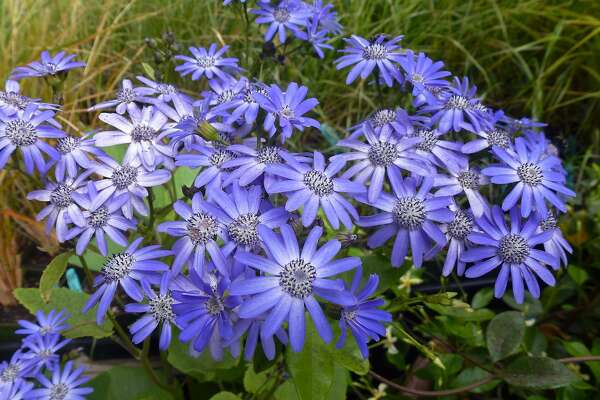 Throw A Little Shade With Tall Cineraria And Tellima Grandiflora