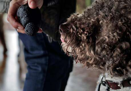 Tango sniffs a training truffle during a training session for dogs learning to sniff out truffles in Placerville, Calif., on Sunday, March 3, 2019. The Truffle Dog Company trains dogs, primarily the Lagotto Romagnolo breed, to sniff out truffles with a training session at the truffle orchard of Staci O'Toole.