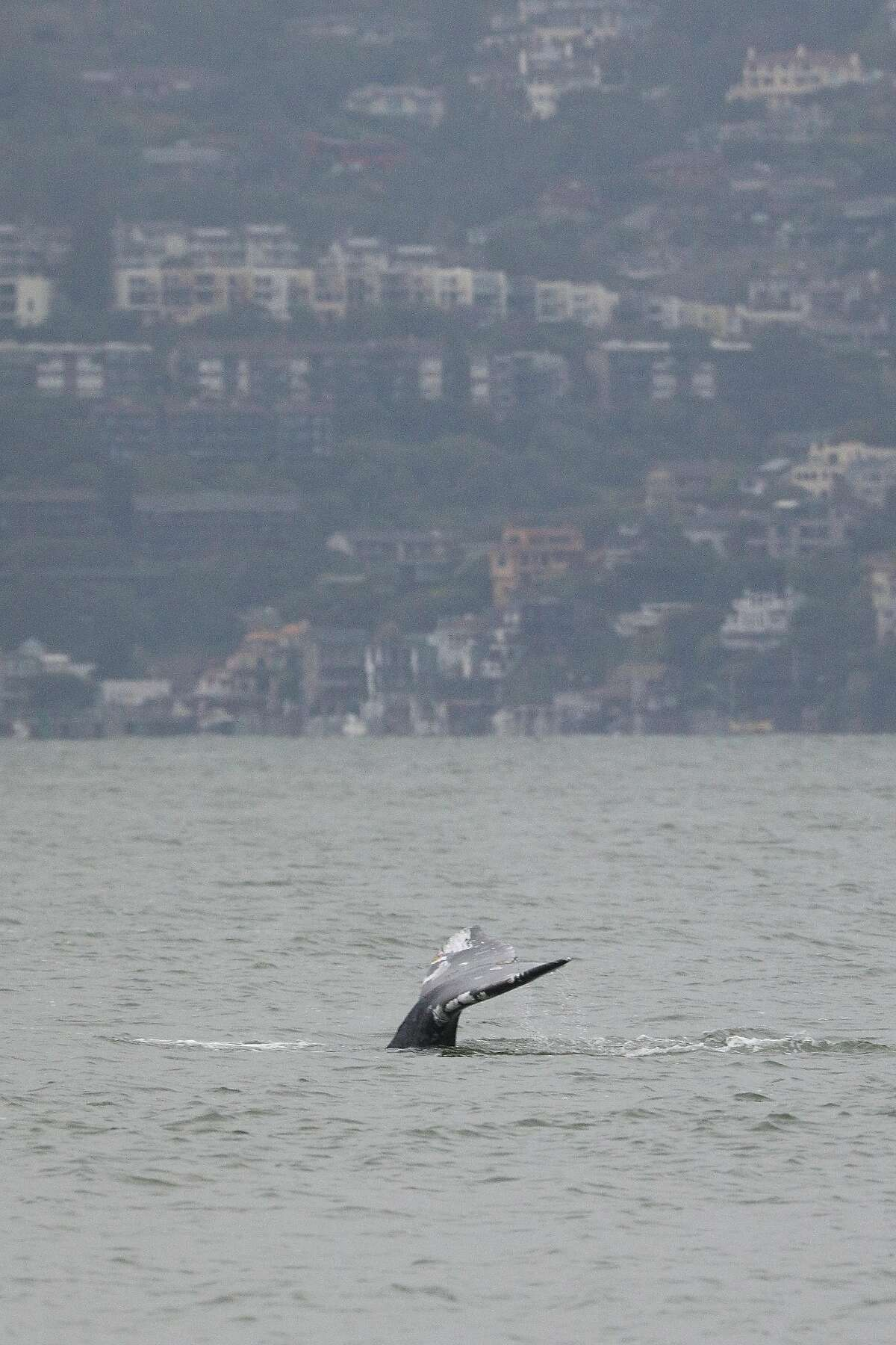 A whale's tail breaks the surface of the water as it swims in the San Francisco Bay on Friday, March 22, 2019 in San Francisco, Calif.