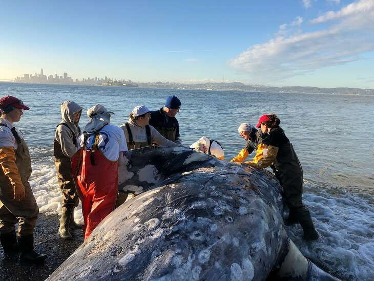 A gray whale carcass is examined by experts from The Marine Mammal Center and its partners at California Academy of Sciences at Angel Island State Park  on Tuesday, March 12, 2019. The Center collected tissue samples and blubber samples on both cetaceans to contribute to various research studies and submit for further testing.