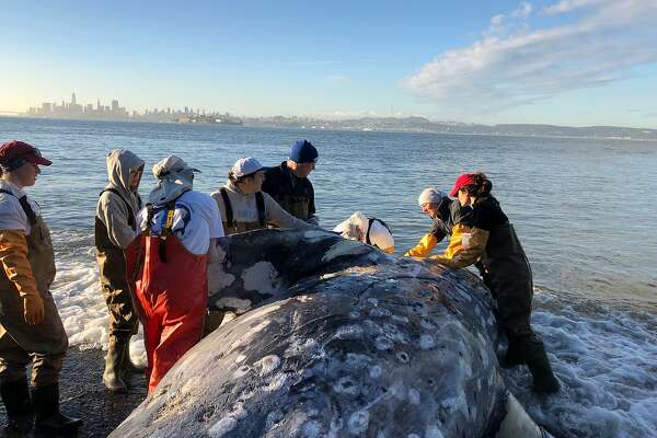Whales in the bay: Great for sightseers, but biologists are concerned