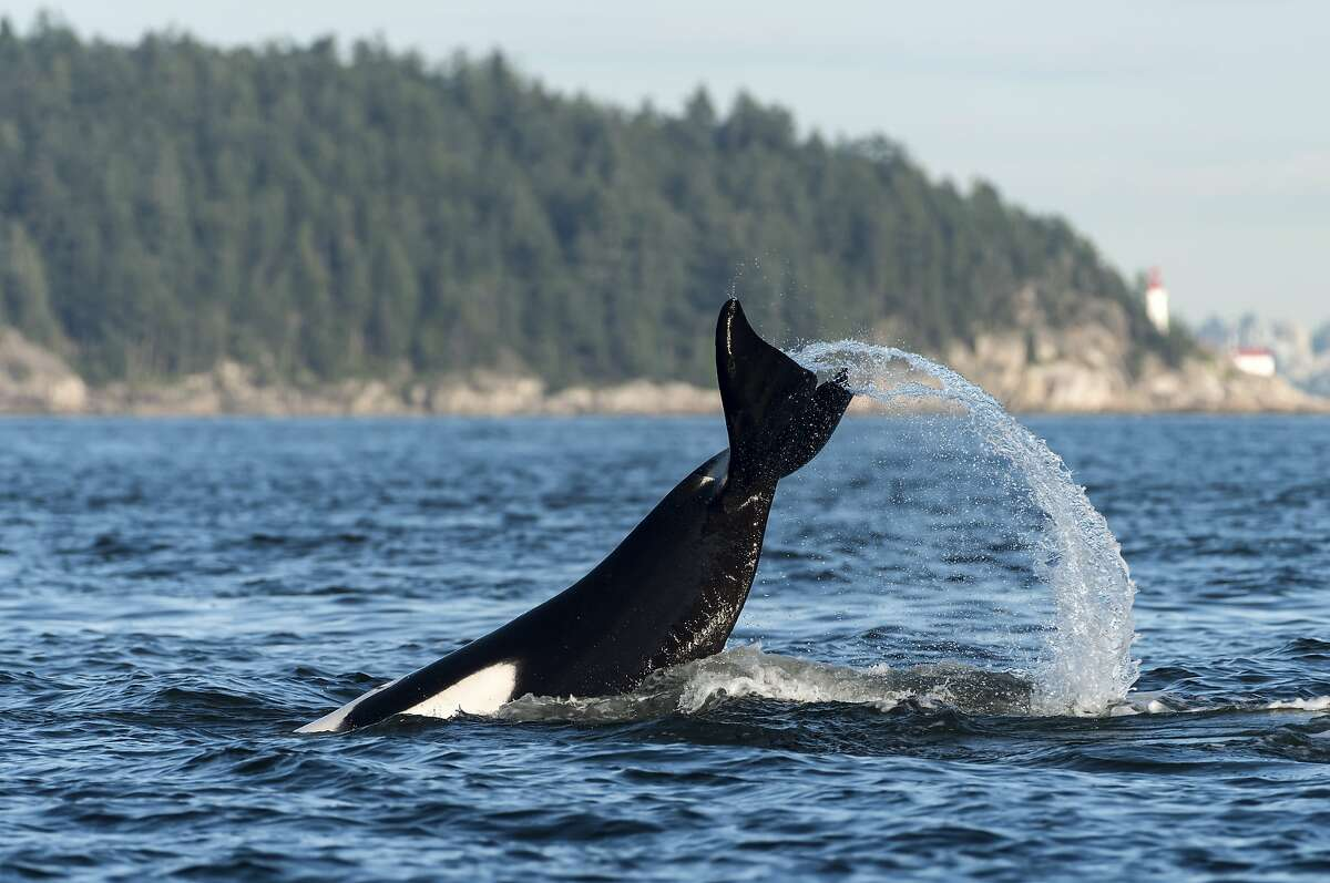 Here, Orcas splash in the Howe Sound near Vancouver, British Columbia, Canada. Keep clicking for more photos of orcas spotted in Seattle.