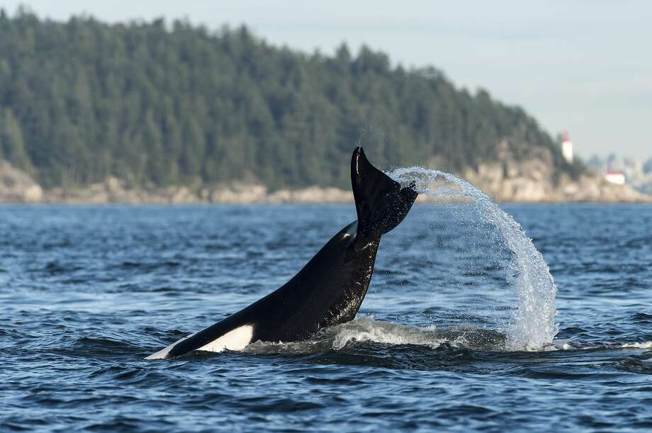 Here, Orcas splash in the Howe Sound near Vancouver, British Columbia, Canada. Keep clicking for more photos of orcas spotted in Seattle. Photo: Getty, Getty Images/All Canada Photos