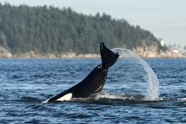 Orcas in the Howe Sound near Vancouver, British Columbia, Canada.