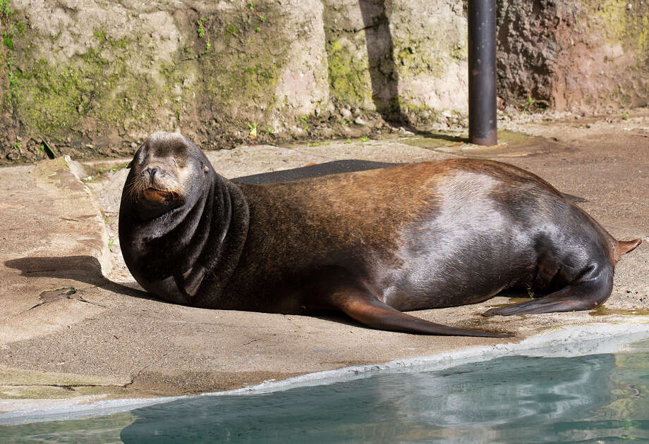 Silent Knight the sea lion passed away overnight on March 22, 2019, according to the San Francisco Zoo & Gardens. Photo: Marianne Hale/SF Zoo And Gardens / Pacifica Arts,Inc.