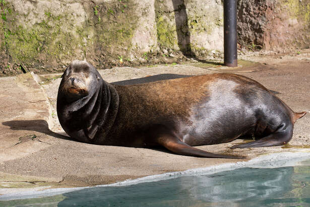 Silent Knight the sea lion passed away overnight on March 22, 2019, according to the San Francisco Zoo & Gardens.
