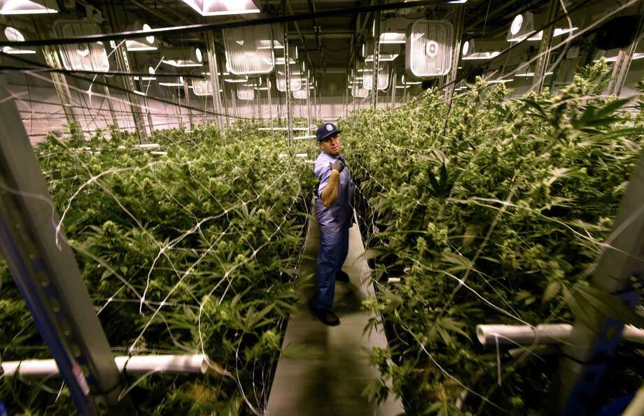 David Lipton, managing partner of Advanced Grow Labs, a medical marijuana production facility in West Haven, Connecticut, in a flower room at the plant in 2015. Photo: Peter Hvizdak / Hearst Connecticut Media / ©2015 Peter Hvizdak