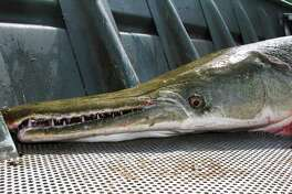 Beginning Sept.1, anglers catching and retaining an alligator gar in most of the state will be required to report that landing to the state's fisheries agency, and gar anglers on the Trinity River will operate under a 48-inch maximum length rule and nighttime bowfishing ban.