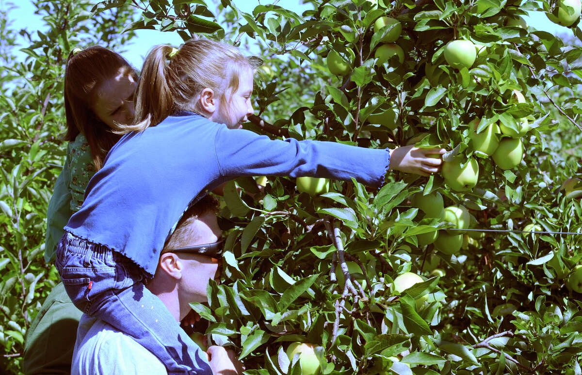 Katelyn Curtis 7, sits atop her dad Dennis Curtis shoulders and picks apples at Bowman's Orchards in Rexford.