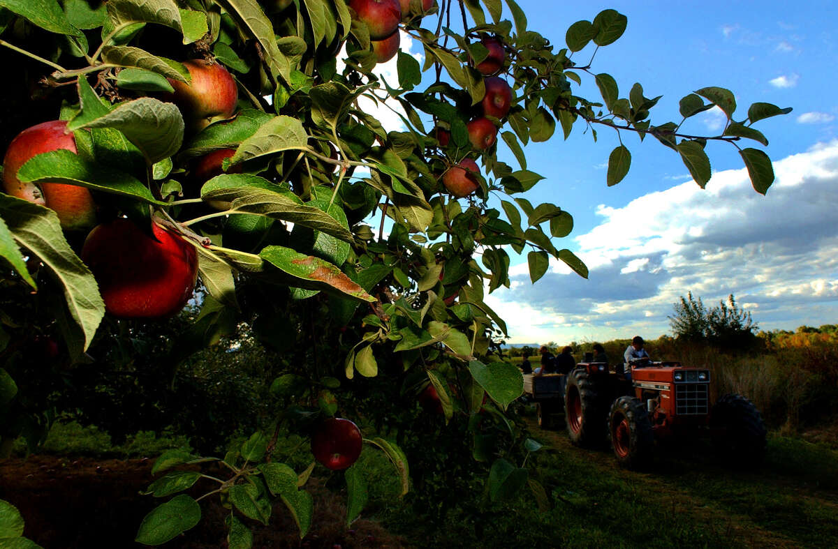 Apples hang on the trees ready for picking at The Farm at Kristy's Barn in Schodack. (Times Union archive)