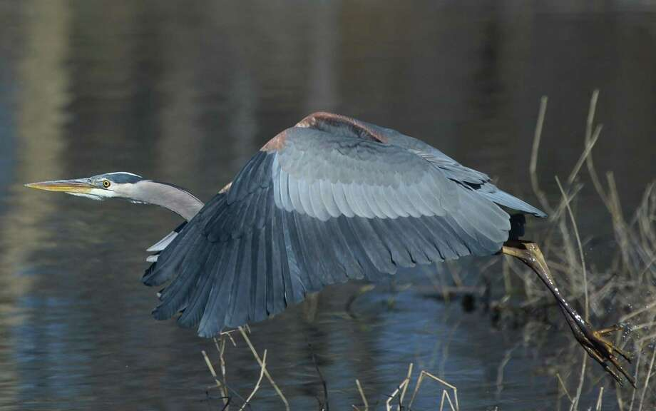 A great blue heron takes off after wading in the water at Bruce Park Pond in Greenwich, Conn. Monday, March 18, 2019. Greenwich may finally be thawing out from a late bout of chilly weather as temperatures are expected to reach 50 degrees this week with mostly sunny conditions. Photo: Tyler Sizemore / Hearst Connecticut Media / Greenwich Time
