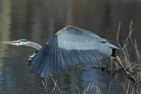 A great blue heron takes off after wading in the water at Bruce Park Pond in Greenwich, Conn. Monday, March 18, 2019. Greenwich may finally be thawing out from a late bout of chilly weather as temperatures are expected to reach 50 degrees this week with mostly sunny conditions.