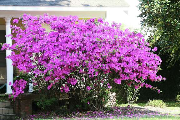 These azaleas are just covered with beautiful hot pink blooms.