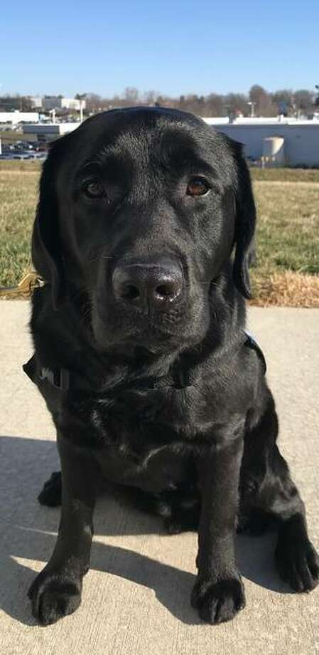 Fitz, who has been specially trained for two years to become a facility dog, was welcomed to the Madison County Courthouse Monday. Photo: For The Intelligencer