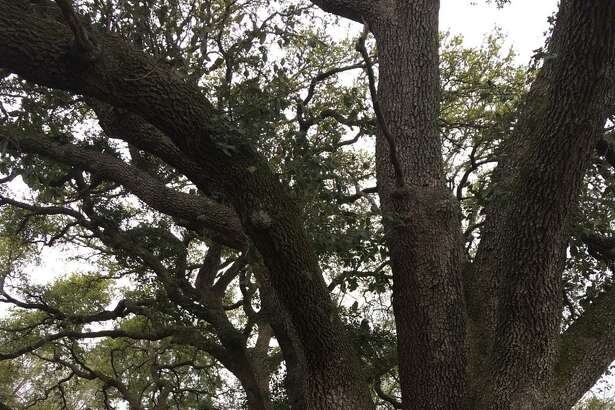 The North Fort Bend Water Authority needs an easement for a water pipeline across the front of Robert Fontenot's property at 24515 Roesner Road. Fontenot wants to protect seven of the larger trees including the two live oaks pictured here. He said they were planted in the early 1900s at the founding of the Roesner Homestead.