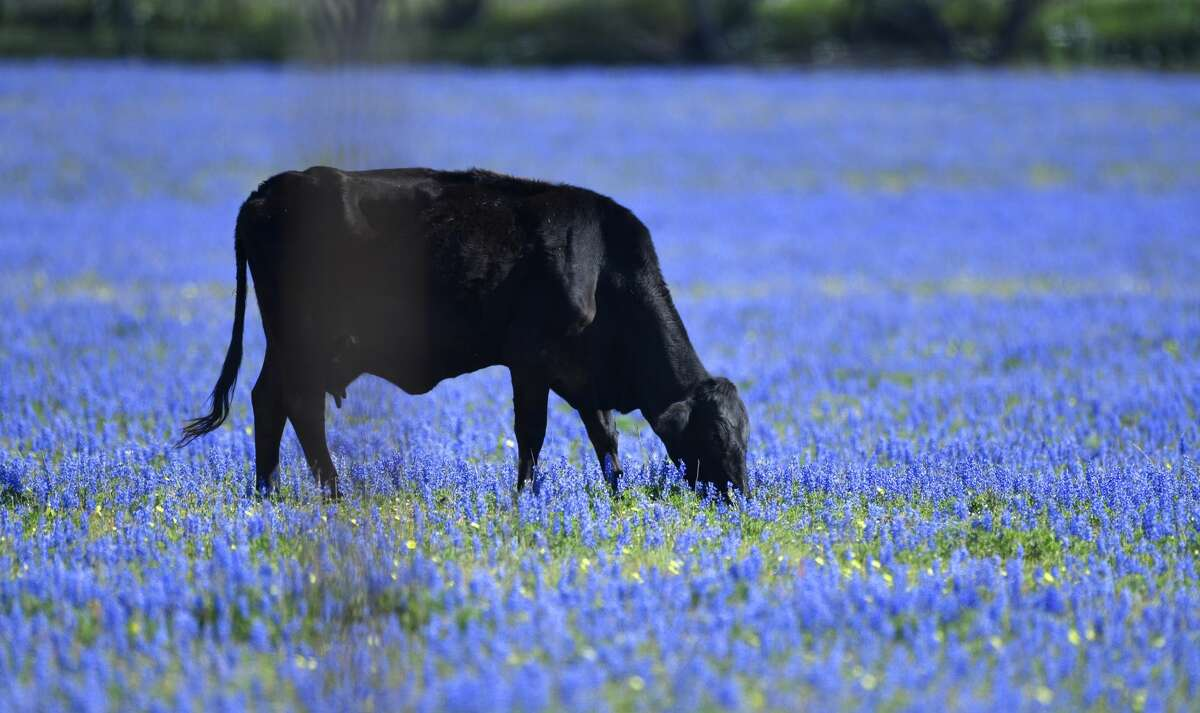 A calf grazes among bluebonnets in the countryside off of FM 1470 near Poteet on Tuesday, March 19, 2019.