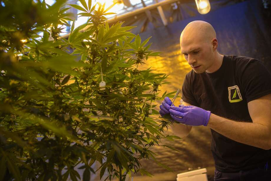 University of Connecticut grad student Peter Apicella works with a cannabis plant in a UConn greenhouse growing THC-free hemp. Photo: Mark Mirko / TNS / Hartford Courant