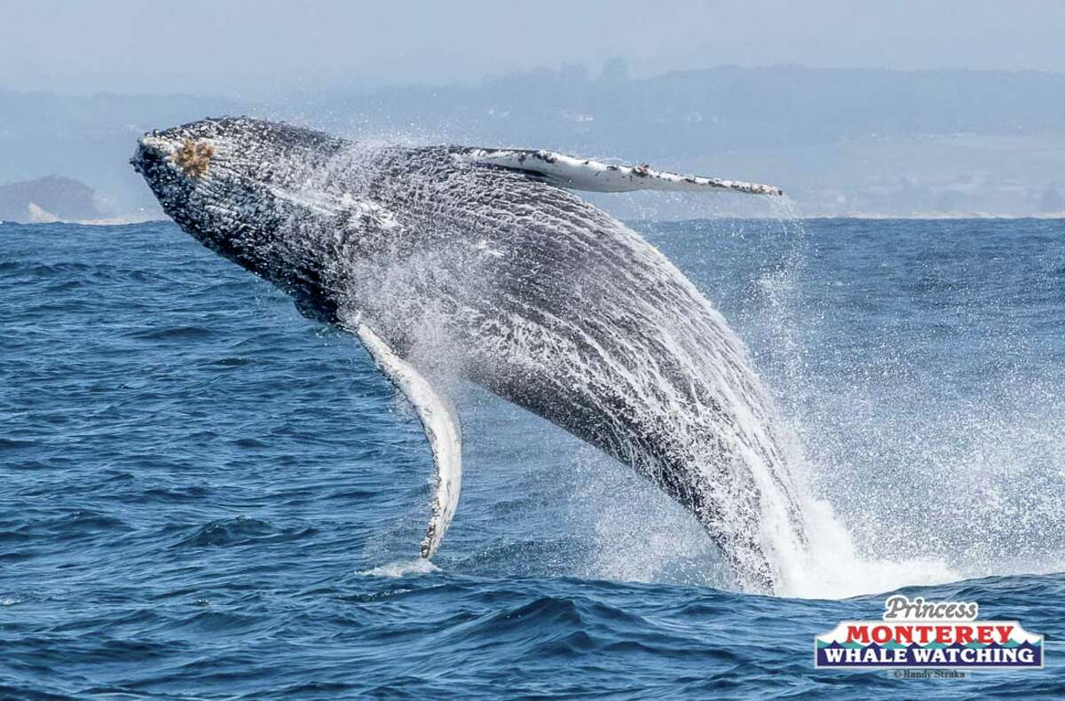 A humpback whale repeatedly breached in front of whale watchers on Saturday, March 23, 2019.
