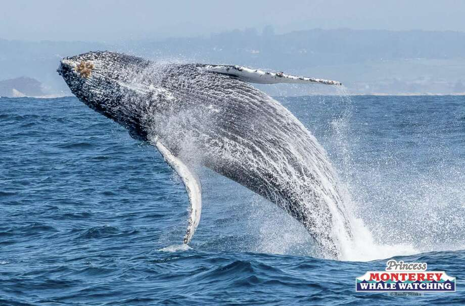 A humpback whale repeatedly breached in front of whale watchers on Saturday, March 23, 2019. Photo: Randy Straka, Randy Straka / Princess Monterey Whale Watching / Randy Straka