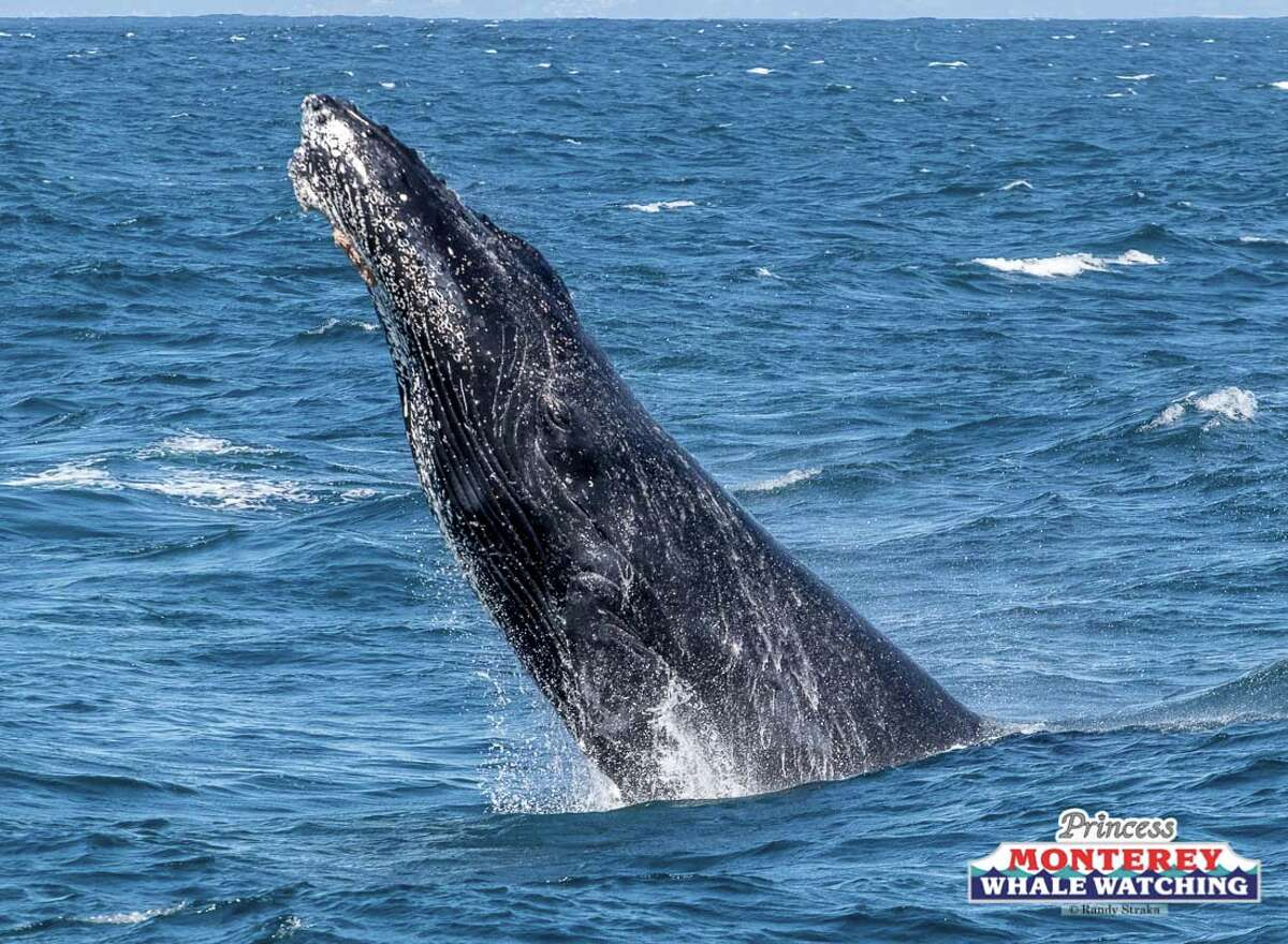FILE - A humpback whale repeatedly breached in front of whale watchers on Saturday, March 23, 2019.