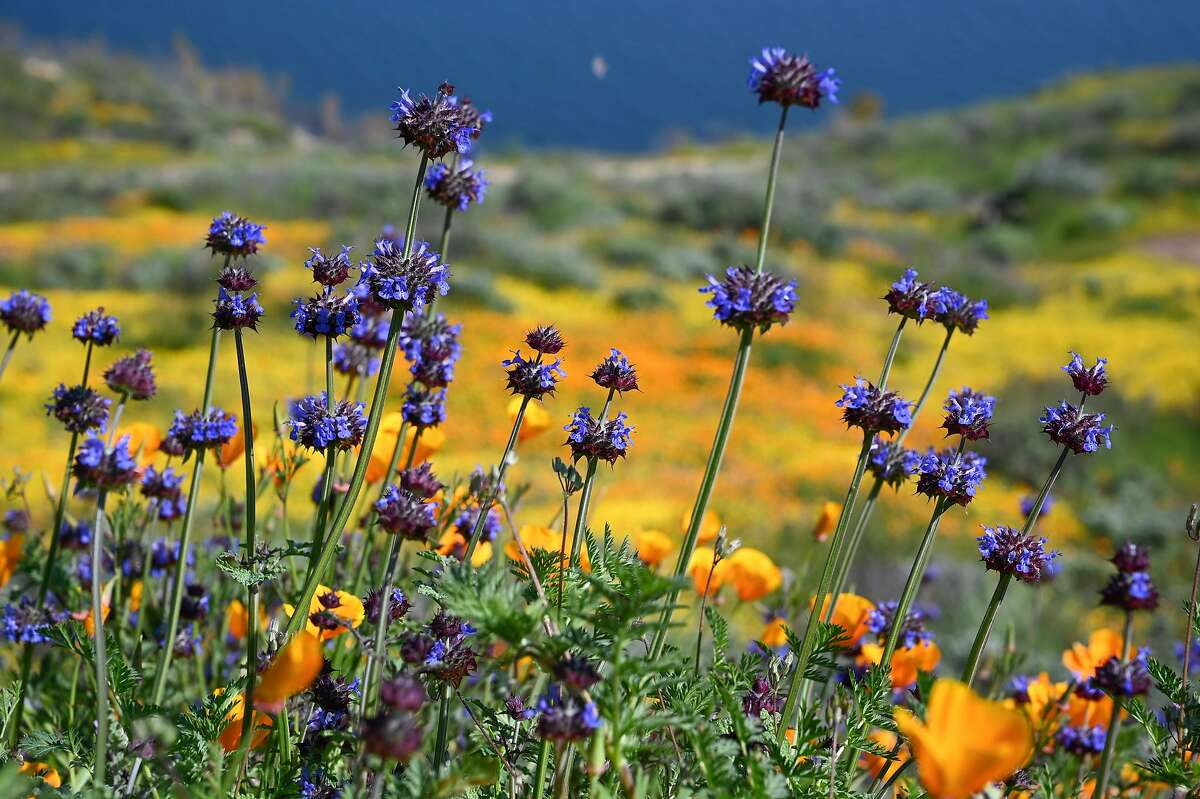 Chia are one of the wildflowers of the current