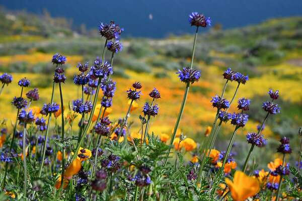 "Chia are one of the wildflowers of the current ""super bloom"" in the hills surrounding Diamond Valley Lake near Hemet, California, March 24, 2019. - Over the last two weekends thousands of visitors have descended on the area about 90 miles southeast of Los Angeles to experience the unusual explosion of yellow, orange, white, purple and blue spring wildflowers causing traffic jams and overwhelming services. (Photo by Robyn Beck / AFP)ROBYN BECK/AFP/Getty Images"