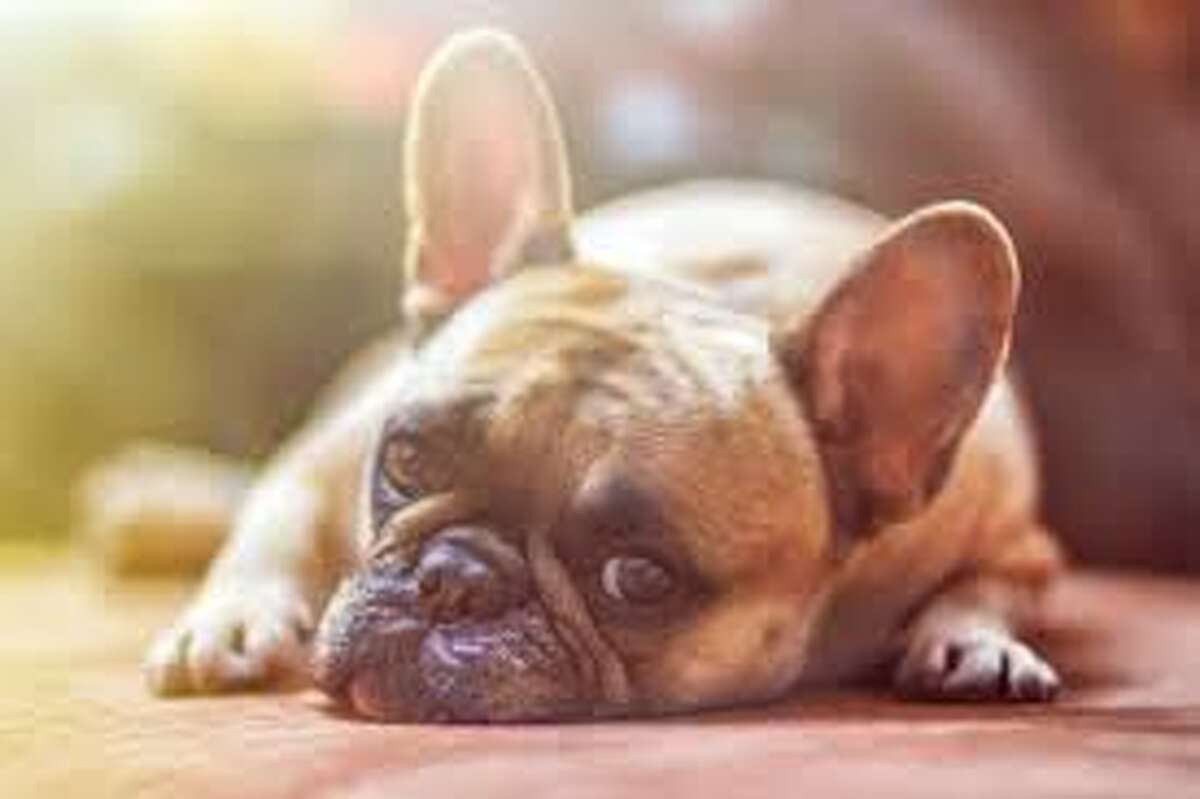 Bogus dog breeders can break anyone's heart. Albany County Sheriff Craig Apple is urging people to be vigilant after his office received complaints that scammerspromising to deliver minaturedachshunds, corgies, French bulldogs and lhasa apsoswere ripping off people. This photograph shows a French bulldog.