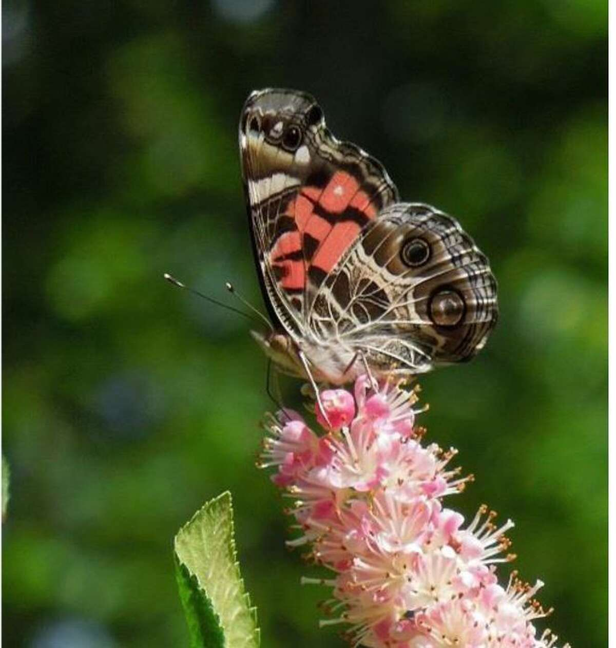 Author, illustrator and naturalist John Himmelman will present a program on butterflies at the New Hartford Land Trust's meeting March 27, 2019.