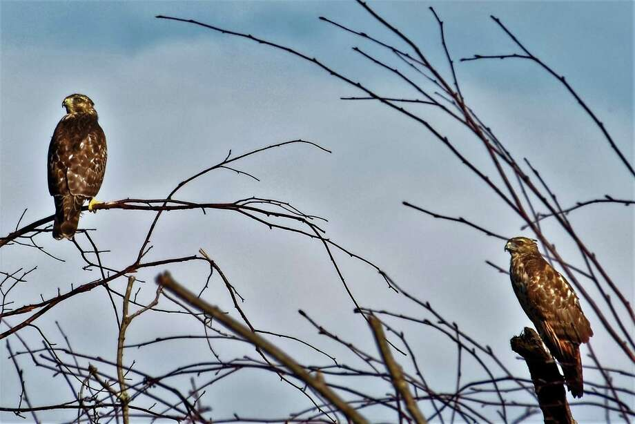 North Stamford resident Michael Gorman photographed a wide variety of raptors, including Cooper's hawks, red-tailed hawks and American kestrels swarming around the Scofieldtown Recycling Center, in Stamford, earlier this month. Photo: Michael Gorman / Contributed Photo / Connecticut Post Contributed