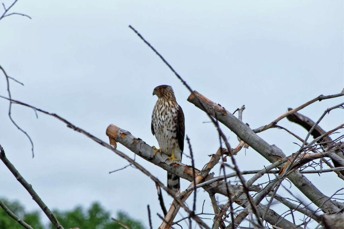 North Stamford resident Michael Gorman photographed a wide variety of raptors, including Cooper's hawks, red-tailed hawks and American kestrels swarming around the Scofieldtown Recycling Center, in Stamford, earlier this month.