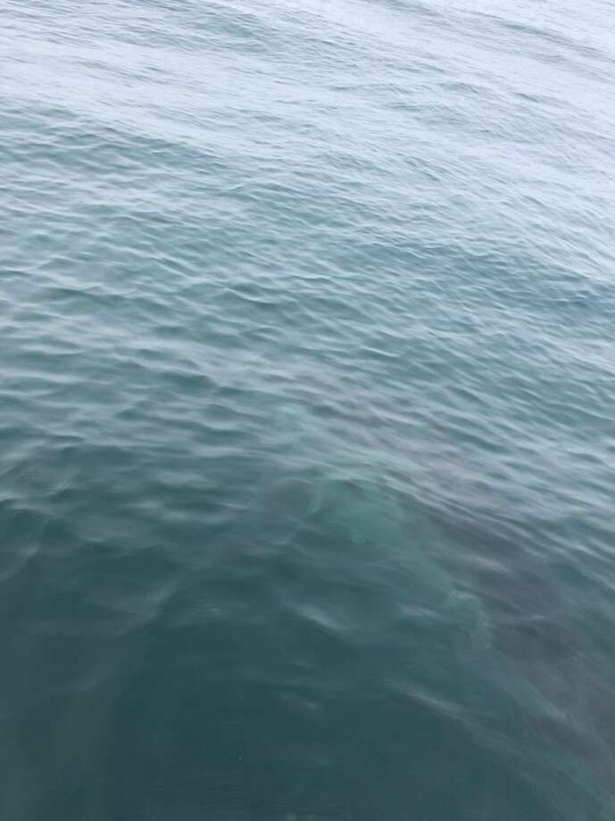 Look closely and you'll see there's a shark in the water. Drake Stanley says he snapped this picture as the great white swam away after nearly attacking a fellow surfer at Mavericks. Photo: Drake Stanley