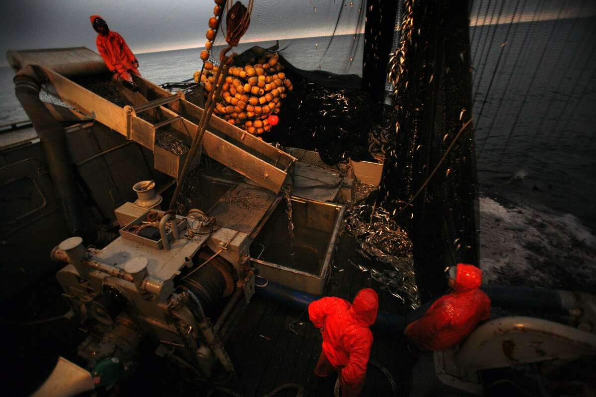 Capt.ain Nick Jurlin's crew with squid sliding down their chute into the hold as they make the round trip from San Pedro to the west side of Catalina Island on the Cape Blanco to join around 10 other fishing boats at a spot where they know they can find squid on OCTOBER 10, 2011. He says a bill moving its way through the California legislature, which would further protect sardines, anchovies, herring and market squid would cripple the San Pedro fishing fleet.