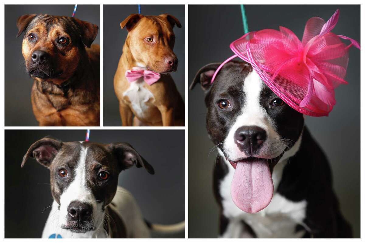 Dogs ready to be adopted from Harris County Animal Shelter. Photographed Tuesday, March 26, 2019, in Houston.
